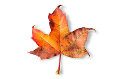 Maple leaf isolated on white background Royalty Free Stock Photography