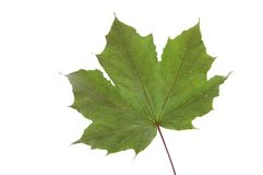 Maple leaf, isolated on white background. Upper side of the leaf Royalty Free Stock Image