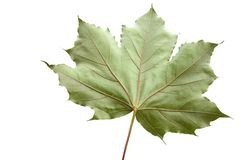 Maple leaf, isolated on white background. Down side of the leaf Royalty Free Stock Photography