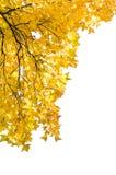 Maple leaf. Isolated on white background Royalty Free Stock Photo