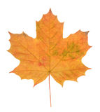 Maple leaf isolated on white Stock Photography