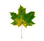 Maple leaf isolated on white background. Royalty Free Stock Photo