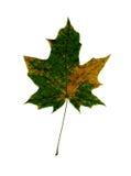 Maple leaf isolated on white background. Royalty Free Stock Photos