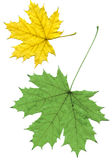 Maple leaf isolated Stock Images
