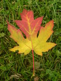 Maple leaf IV Stock Photography