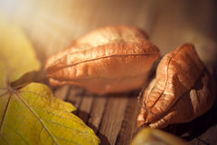 Maple leaf, koelreuteria paniculata leaves, and acorn on wooden Royalty Free Stock Image