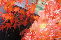Maple leaf in Kyoto,Jpan royalty free stock photo