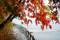 Maple leaf. Beside a lake Stock Photography