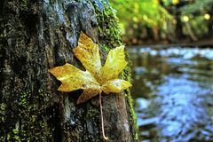 Maple leaf lay on tree Stock Photos