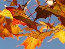 Maple Leaf, Leaf, Autumn, Deciduous stock photos