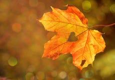 Maple Leaf, Leaf, Autumn, Deciduous stock images