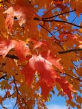 Maple Leaf, Leaf, Autumn, Tree Stock Photography
