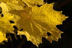 Maple Leaf, Leaf, Yellow, Autumn stock photo