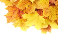Maple-leaf leaves composition Stock Image