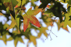 Maple leaf. Maple leaves has not completely turned red Stock Images