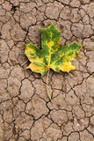 Maple leaf lies on the earth Stock Photography