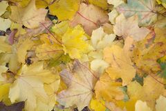 maple-leaf-litter Royalty Free Stock Images