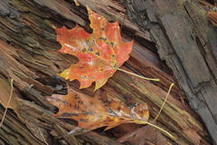 Maple leaf on log. A red maple leaf on a log Stock Photo