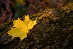 Maple leaf on a log Stock Images