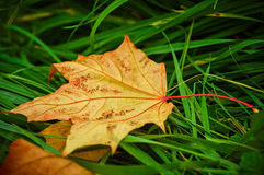 A maple leaf lying on a green grass Royalty Free Stock Images