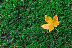 Maple leaf lying on the ground in a forest Royalty Free Stock Photo