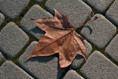 Fallen Maple Leaf. A maple leaf lying on a stone paved path close-up Royalty Free Stock Image