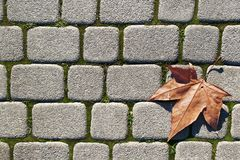 Fallen Maple Leaf. A maple leaf lying on a stone paved path Royalty Free Stock Photos