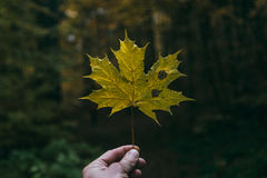Maple Leaf in a man`s hand Stock Photos