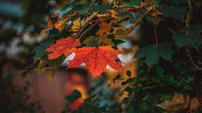 Maple leaf. Maple autumn leaf at the rainy day royalty free stock photos