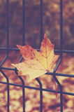 Maple leaf on the metal fence in autumn park Royalty Free Stock Images
