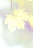 Maple leaf on the morning Royalty Free Stock Photo