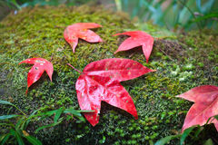 Maple leaf on moss Royalty Free Stock Photo