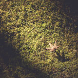 Maple leaf on Moss background Royalty Free Stock Photos