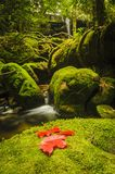 Maple leaf on moss covered rocks near wallterfall in rains fores Stock Image