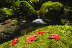 Maple leaf on moss covered rocks near wallterfall in rains fores Royalty Free Stock Photography
