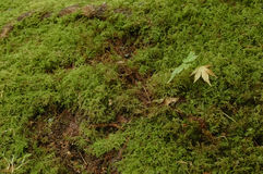 Maple leaf on mossy grass Royalty Free Stock Image