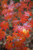 Maple leaf. Mple leaves in the forest Stock Photos