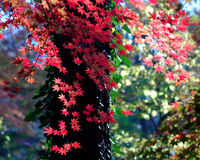 Maple leaf in Nanjing-2. Maple leaves are turing to red in Autumn in Naning Stock Photo