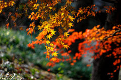 Maple Leaf. In Nanjing, China Stock Image
