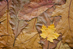 Maple leaf on the oak background. Dry brown oak and muple leaves clouse-up texturd background Stock Photography