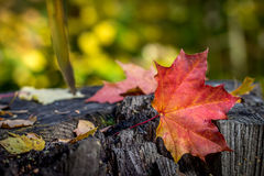 Maple leaf on an old tree stump Stock Photos