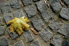 Maple leaf. Old yellow maple leaf on granite cobbles Stock Images