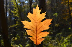 Maple leaf. One fallen maple leaf in the autumn forest Stock Photography