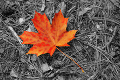 Maple-leaf. Orange maple leaf on the black-white background royalty free stock photos
