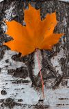 Maple leaf of orange color hanging on birch royalty free stock photos