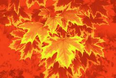 Maple leaf in orange yellow and red. Stock Photography