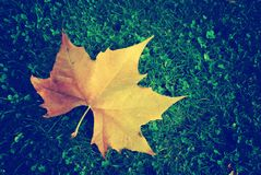 Maple leaf on the green grass royalty free stock photography