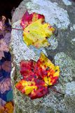 Maple Leaf Pair Royalty Free Stock Photography