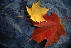Maple Leaf Pair on Moody Grey Rock. Two sugar maple leaves (Acer saccharum) rest on a damp, textured rock on an overcast autumn day... an image evocative of Stock Image