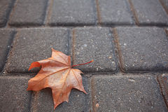 Maple leaf at pavement Stock Photo